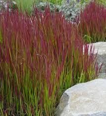 109 best garden ornamental grasses images on plants