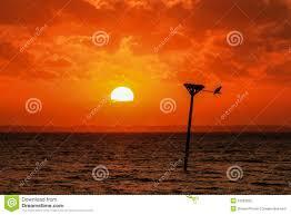 soft orange glow of setting sun silhouettes osprey nest stock