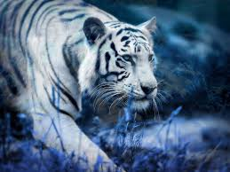 white tiger blue clouds hd wallpaper and background image