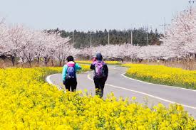 jeju spring flower journeys get your bloom on u2013 jeju tourism