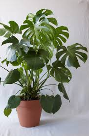 homelife top 15 indoor plants monstera split leaf the sill our top plant picks pinterest