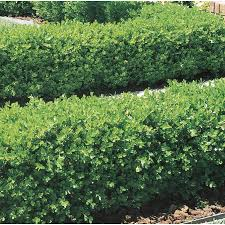 shop 2 5 quart japanese boxwood foundation hedge shrub l5873 at