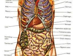 Netter Atlas Of Human Anatomy Online Human Anatomy Kidney Location Netter Atlas Of Human Anatomy Online