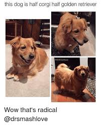 Golden Retriever Meme - this dog is half corgi half golden retriever smashlove wow that s