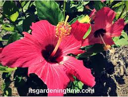 pink hibiscus flowers at kingston shores resort