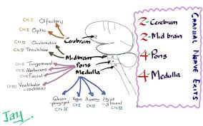 Cranial Nerves Worksheet Mnemonics In Anatomy Image Collections Learn Human Anatomy Image