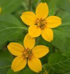 Image result for Chrysogonum virginianum