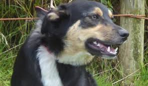 australian shepherd x kelpie australian kelpie cross dogs for adoption and rescue