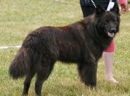 belgian sheepdog short hair dutch shepherd wikipedia