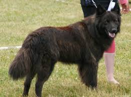 belgian sheepdog varieties dutch shepherd wikipedia