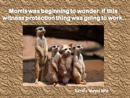 Mere Cat Meme - 194 best meerkat images on pinterest adorable animals funny