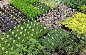 native plants of ontario ground covers unlimited wholesale plant nursery bethany ontario