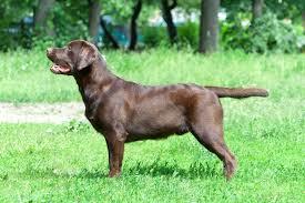 chocolate labrador retriever facts labrador training hq