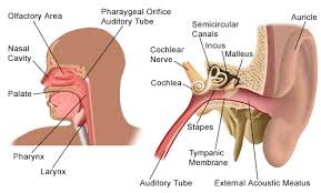 Behind The Ear Anatomy Diseases Of The Ear Department Of Otorhinolaryngology Weill