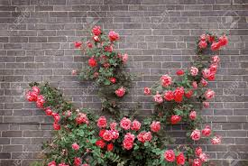 climbing red roses on a brick wall of a house stock photo picture