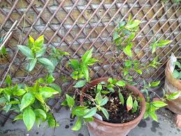jasmine container care u2013 when and how to repot a jasmine plant