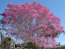 Tree With Purple Flowers Bright Yellow Flowers Fill South Florida Thanks To Tabebuia Tree