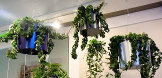 indoor garden climbing plants climbing plants indoors xtend