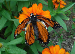 why does this monarch butterfly crumpled wings