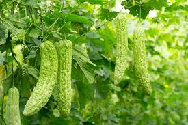 Types Of Vegetables To Grow In A Garden - how to grow bitter melon growing bitter gourd in pots balcony