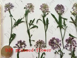 alyssum flowers free shipment 100pcs light purple sweet alyssum pressed flower
