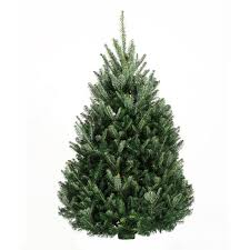 fraser fir tree 9 10 fraser fir trees trees products