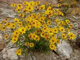 native plants albuquerque showy goldeneye