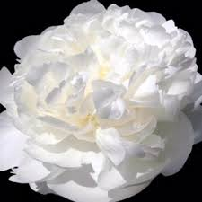 Wholesale Peonies 20 Wholesale Peonies Flowers All Our Specials Peony
