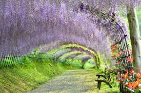 visit wisteria flower tunnel in japan