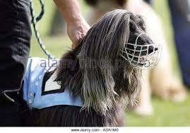 afghan hound speed afghan hound racing stock photos u0026 afghan hound racing stock