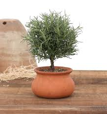 Lighted Topiary Trees 2 Lb Washpot Rosemary Topiary W Pot Fresh Topiary Plants