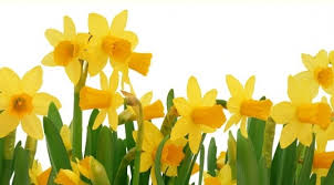 flower of the month march flower of the month narcissus aka daffodil jonquil