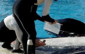 tilikum breeding at seaworld business insider