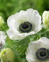 anemones flowers japanese anemone anemone x hybrida honorine jobert 花