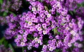 alyssum flowers flowers alyssum flower