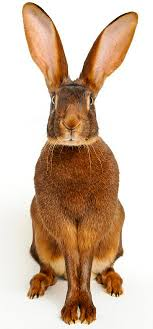 urban rabbit ring holder images The tv star rabbits who 39 ve got their own agents daily mail online jpg