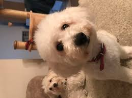6 month old bichon frise for sale how to train a bichon frise 11 steps with pictures wikihow
