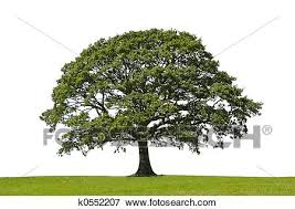 tree symbol picture of oak tree symbol of strength k0552207 search stock