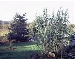 arundo donax reed ornamental grass seeds ebay