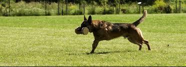 belgian shepherd houston stealth k9 kennels training belgian malinois in texas
