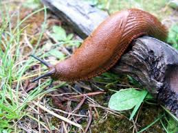 Where Can You Find Snails In Your Backyard 12 Easy Tips For Getting Rid Of Slugs In Your Garden Organic