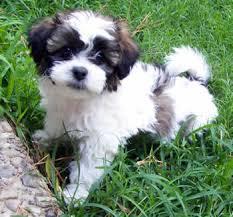 shichons haircut designer teddy bear puppy best zuchon shichon hybrid dog tx