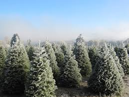 choose and cut christmas trees