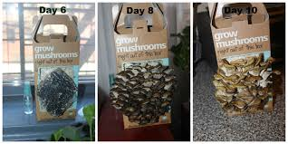 i grew my own mushrooms on my windowsill u0026 ate them lady and the