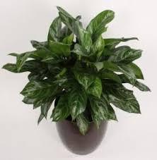 house plants no light 14 best low light houseplants images on pinterest low lights