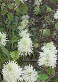 wild quinine a native american medicinal plant growing throughout