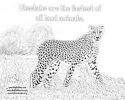 coloring pages cheetah coloring coloringeast