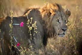nairobi national park gps for kenya u0027s lions pictures cbs news