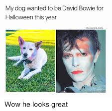 Bowie Meme - my dog wanted to be david bowie for halloween this year
