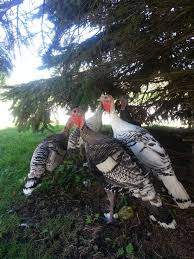 35 best terrific turkeys images on farm animals